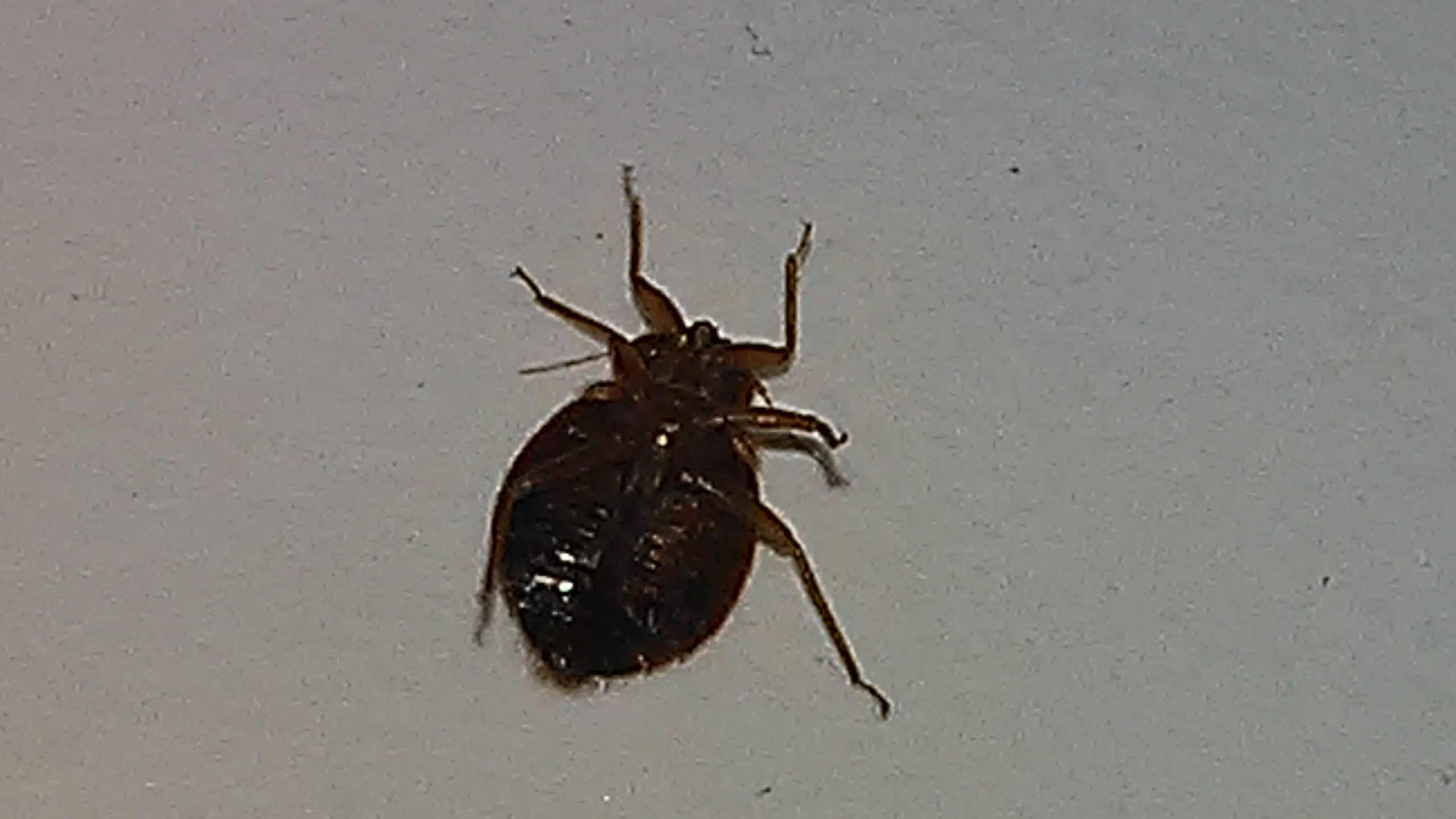 Bed bug close up - photo#28