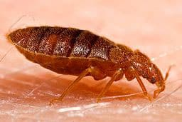 Bed Bug Picture