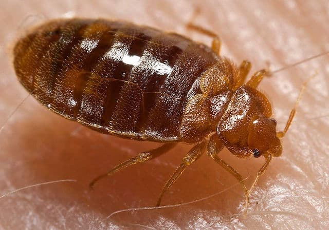 What does a bed bug look like