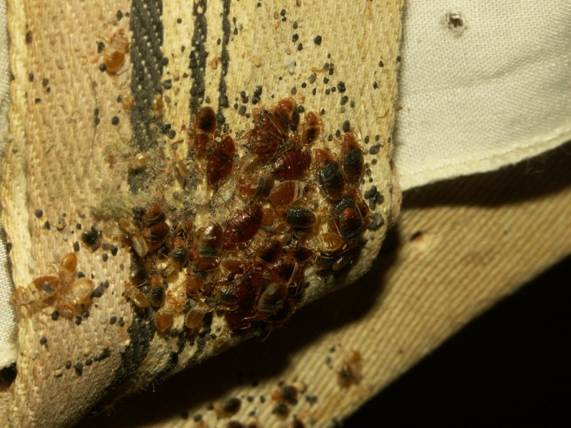 Bed Bug Rashes