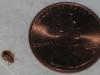bu-bug-size-penny