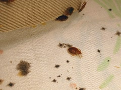 Bed Bug Detection - Bed Bug Treatment Site