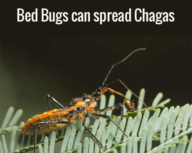 Bed Bugs Chagas