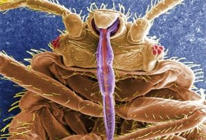 Bed Bugs Immune to Sprays