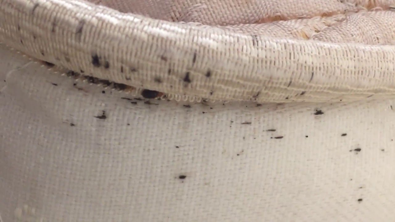 Bed Bug On Mattress